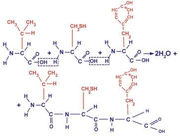 Функции белка в клетке: структура белковой молекулы, виды органического вещества